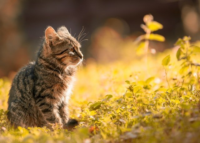 Γιατί η γάτα μας, ενώ είναι ευτυχισμένη μαζί μας φεύγει από το σπίτι; | Βελούδινες Πατούσες | Anthia.net